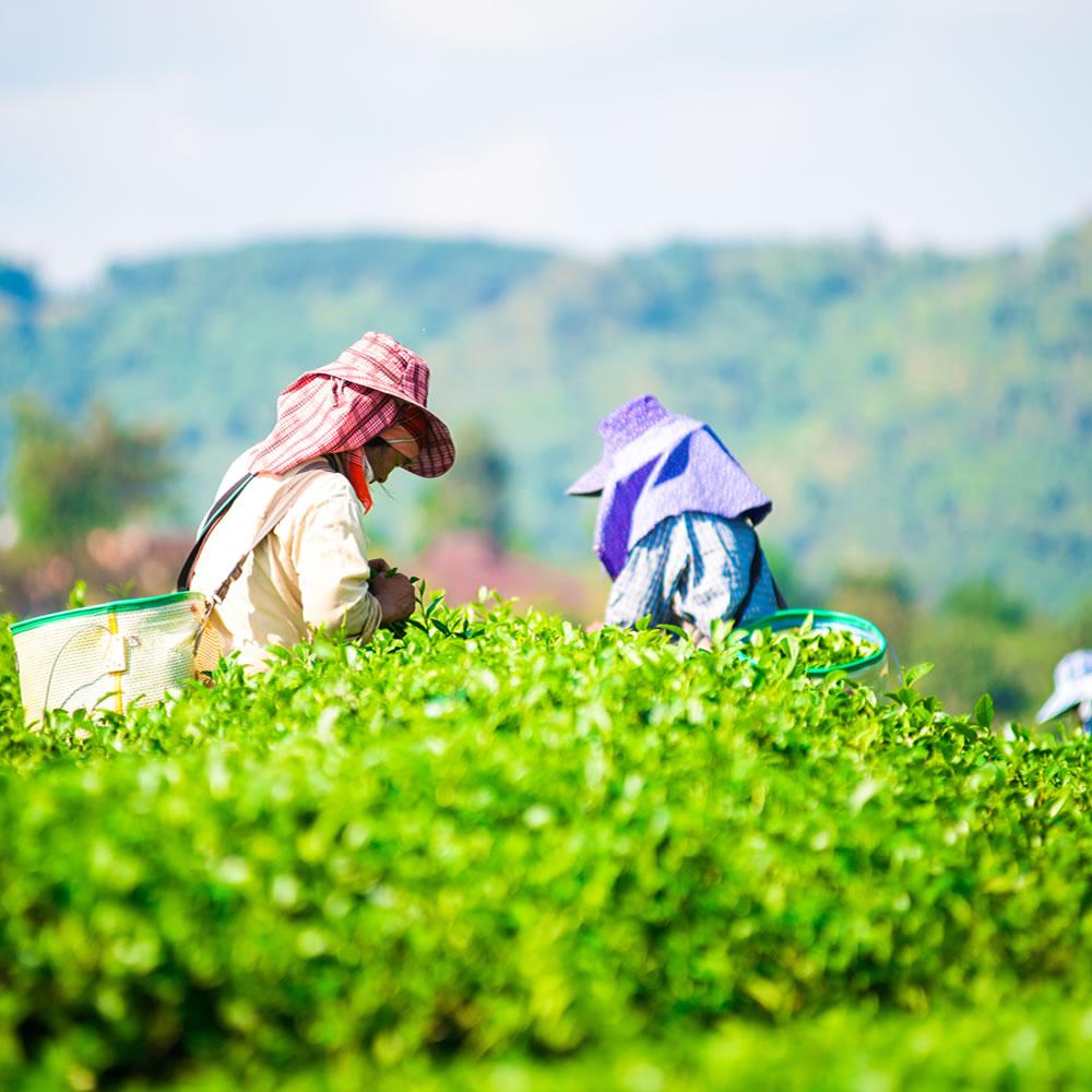 思茶擁有自己的綠色海洋,大片的翠綠茶園,邀請您來體驗採茶及製茶的樂趣.遠離都市的紛擾,給自己假日一天芬多精之旅。